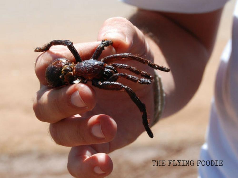 tarantula-cambodia